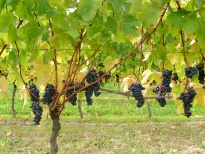 Merlot vine at harvest